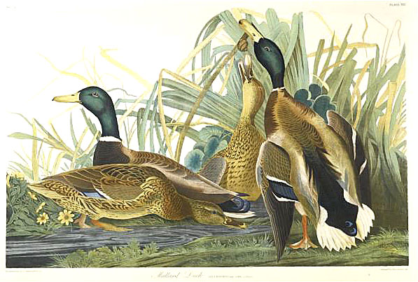 Bien chromolithograph of mallard ducks after John James Audubon.