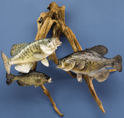 64 for Fish taxidermy prices