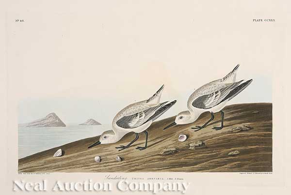 John James Audubon, Sanderling from Birds of America, Havell edition