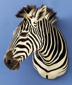 Taxidermy Zebra Shoulder Mount