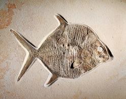 Fossil fish moonfish gyrodus circularis jurassic for Opah fish price