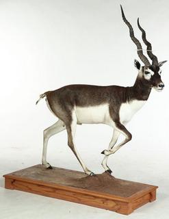 Blackbuck antelope mount - photo#27